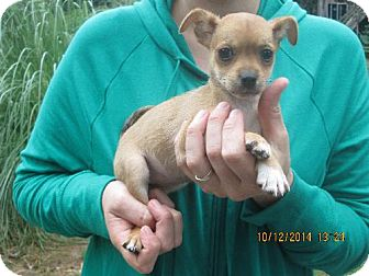 Shih Tzu/Chihuahua Mix Puppy for adoption in Rutherfordton, North Carolina - Gertie