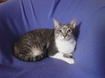 Domestic Shorthair Cat for adoption in Sarasota, Florida - Duffy