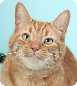 Domestic Shorthair Cat for adoption in Chicago, Illinois - Ollie