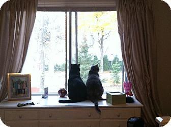 Domestic Shorthair Cat for adoption in Wayzata, Minnesota - Tess