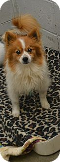 Pomeranian Mix Dog for adoption in Beaumont, Texas - Mr. Magoo