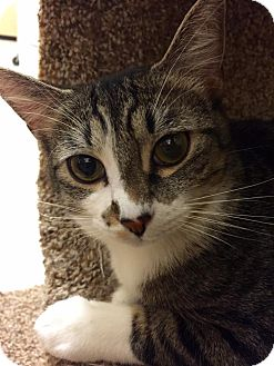 Domestic Shorthair Kitten for adoption in Tega Cay, South Carolina - Bette