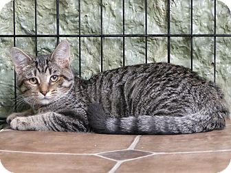 Domestic Shorthair Cat for adoption in Marlinton, West Virginia - Buttercup--RESCUED!