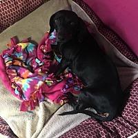 Dachshund Mix Dog for adoption in York, South Carolina - Leela