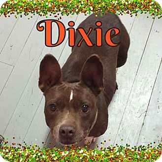 Boston Terrier Mix Dog for adoption in Snyder, Texas - Dixie