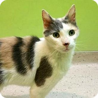 Domestic Shorthair Cat for adoption in Janesville, Wisconsin - Cali