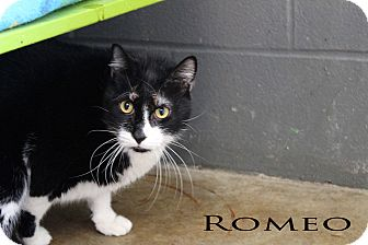 Domestic Mediumhair Cat for adoption in Texarkana, Arkansas - Romeo