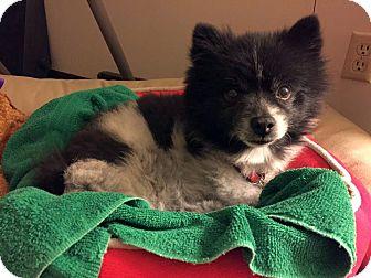 Pomeranian Dog for adoption in Columbus, Ohio - Jaxon