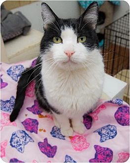 Domestic Shorthair Cat for adoption in Corinne, Utah - Wiley