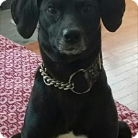 Whippet Mix Dog for adoption in Rockville, Maryland - Pup Kiera
