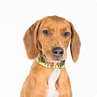 Adopt A Pet :: Bentley - St. Louis Park, MN