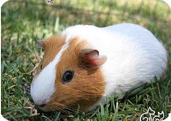 Guinea Pig for adoption in Fullerton, California - *Urgent* Notorious Pig