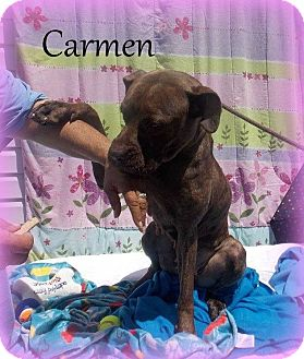 American Bulldog/Boxer Mix Dog for adoption in Hammond, Louisiana - Carmen