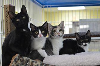Calico Kitten for adoption in Atlanta, Georgia - Catalina170937