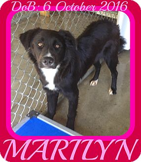 Border Collie/Australian Shepherd Mix Dog for adoption in Mount Royal, Quebec - MARILYN
