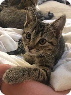Domestic Shorthair Kitten for adoption in Los Angeles, California - Presley