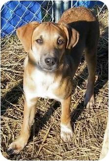 Labrador Retriever/Redbone Coonhound Mix Puppy for adoption in Cincinnati, Ohio - Truman