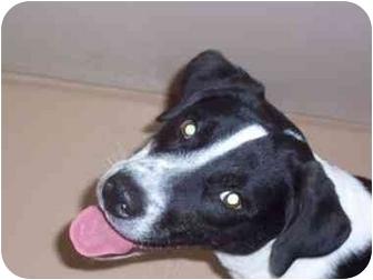 Labrador Retriever Mix Dog for adoption in Saint Charles, Missouri - Hank