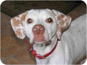 English Pointer/Pointer Mix Dog for adoption in Toledo, Ohio - LYDIA