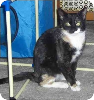 Domestic Shorthair Cat for adoption in Little Falls, New Jersey - Precious