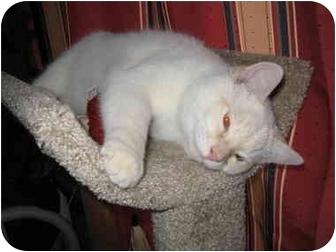 Siamese Cat for adoption in Mesa, Arizona - Blu