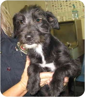 Schnauzer (Miniature)/Dachshund Mix Puppy for adoption in Stillwater, Oklahoma - Spumone