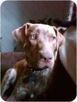 Labrador Retriever Mix Dog for adoption in kennebunkport, Maine - Tucker- in Maine!