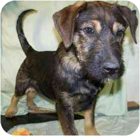 Fox Terrier (Wirehaired)/Terrier (Unknown Type, Small) Mix Puppy for adoption in Meadow Lake, Saskatchewan - Rocky