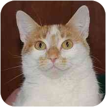 Domestic Shorthair Cat for adoption in Ladysmith, Wisconsin - Twiggy