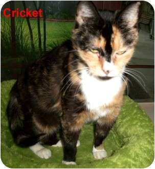 Domestic Shorthair Cat for adoption in Slidell, Louisiana - Cricket