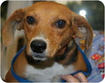 Beagle Mix Dog for adoption in Ventnor City, New Jersey - MISTY