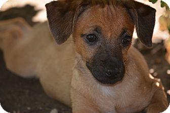 Chihuahua/Dachshund Mix Dog for adoption in Fresno, California - Alfred