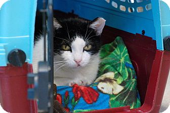 Domestic Shorthair Cat for adoption in Chicago, Illinois - Mimi Strauss