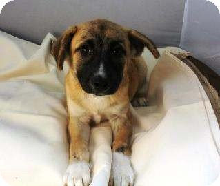 Shepherd (Unknown Type) Mix Puppy for adoption in Pompton Lakes, New Jersey - Lacey