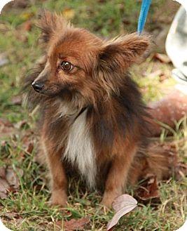 Pomeranian/Papillon Mix Dog for adoption in Washington, D.C. - Robi (Aka Bob)