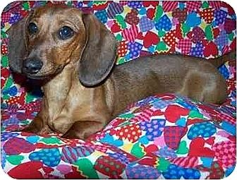 Dachshund Dog for adoption in Old Fort, North Carolina - Allie