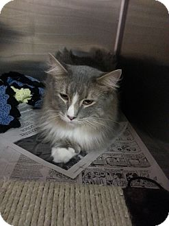 Domestic Longhair Cat for adoption in Colonial Heights, Virginia - Ike