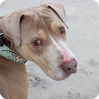 American Staffordshire Terrier Dog for adoption in Long Beach, New York - Jae