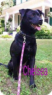 Retriever (Unknown Type)/Labrador Retriever Mix Dog for adoption in Blue Bell, Pennsylvania - Dugan and Chelsea