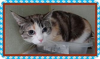 Oriental Cat for adoption in Mt. Prospect, Illinois - Felicia