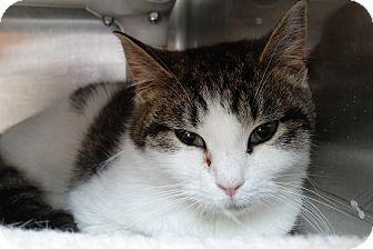 Domestic Shorthair Cat for adoption in Elyria, Ohio - Clancy