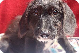 Wirehaired Fox Terrier Mix Puppy for adoption in Waldorf, Maryland - Xavier
