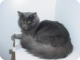 Domestic Longhair Cat for adoption in Olympia, Washington - 42489