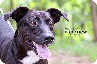 Labrador Retriever Mix Dog for adoption in Edwardsville, Illinois - Travis