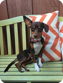 Rat Terrier Mix Dog for adoption in Pleasanton, California - Wilson - adoption pending