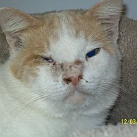 Domestic Shorthair Cat for adoption in Mexia, Texas - Paulie