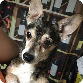 Chihuahua Mix Dog for adoption in Davie, Florida - Logan