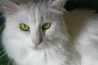 Domestic Longhair Cat for adoption in Ephrata, Pennsylvania - Este