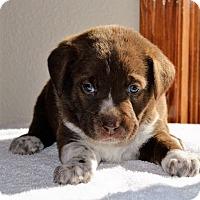 Adopt A Pet :: Abbey - Denver, CO
