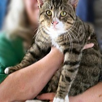 Domestic Shorthair Cat for adoption in Lyons, Illinois - Tico will greet you with devotion